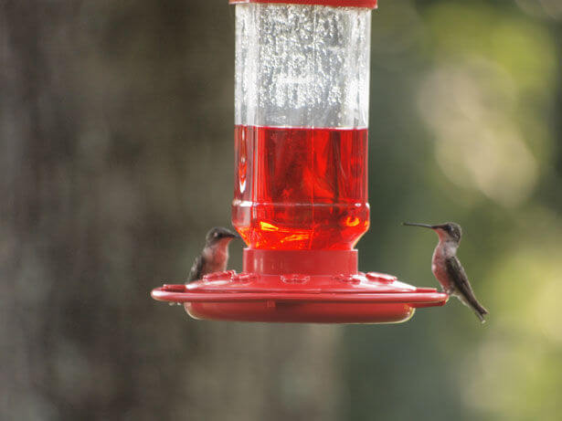 humming-bird-couple-12605129720167701s